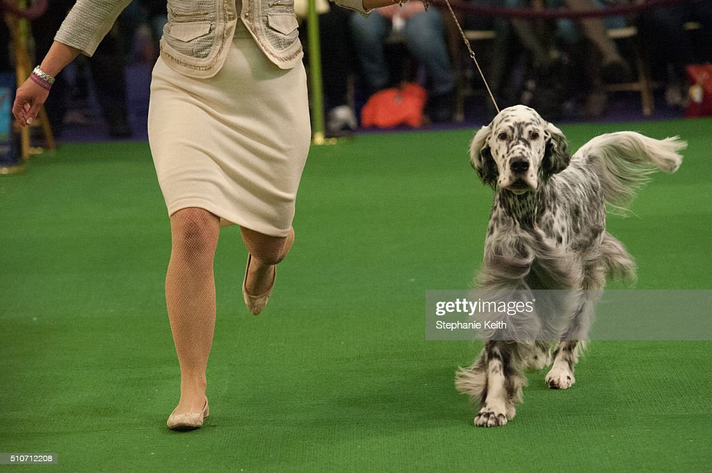 An American Spaniel run in the ring during competition on the second day of the 140th annual Westminster Kennel Club dog show on February 16 2016 in...