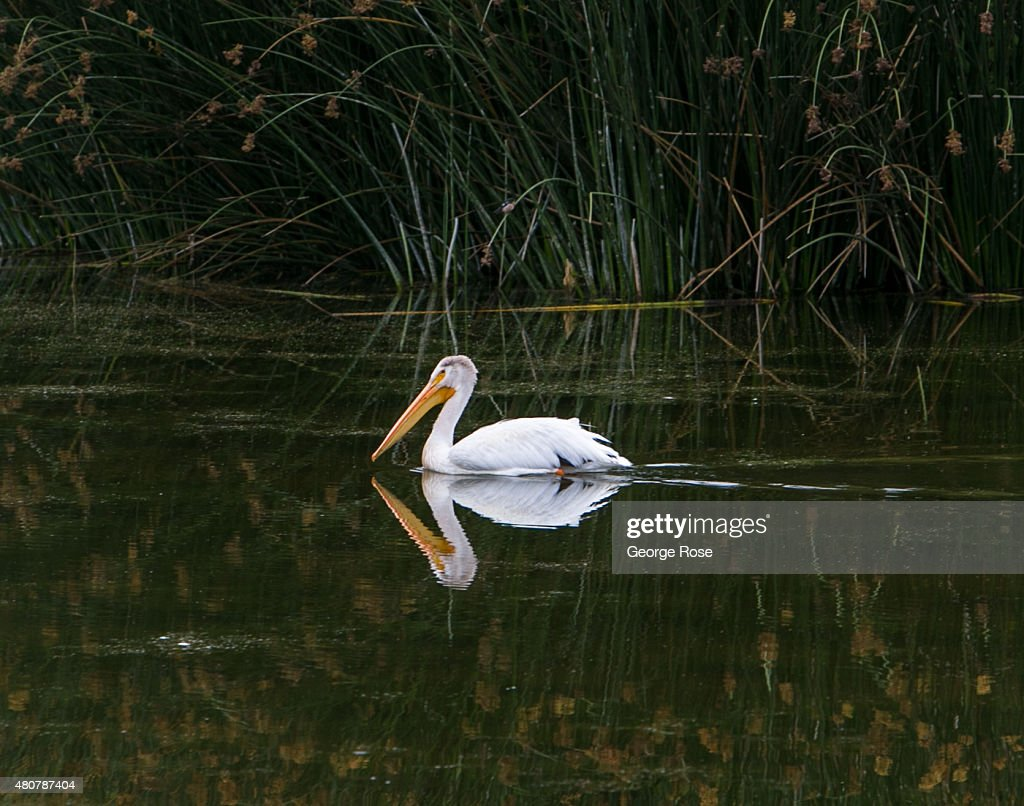 An American White Pelican floats along Oso Flaco Lake near NipomoOceano Dunes State Park on June 14 near Guadalupe California Because of its close...