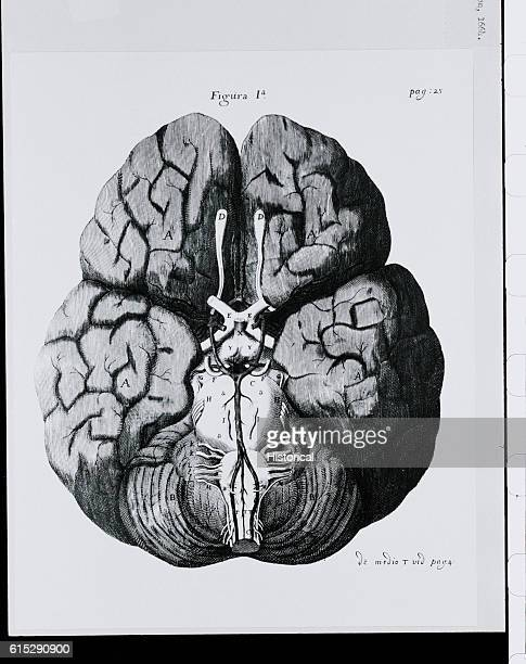 An anatomical diagram illustrating the base of the human brain showing the pons and medulla oblongata
