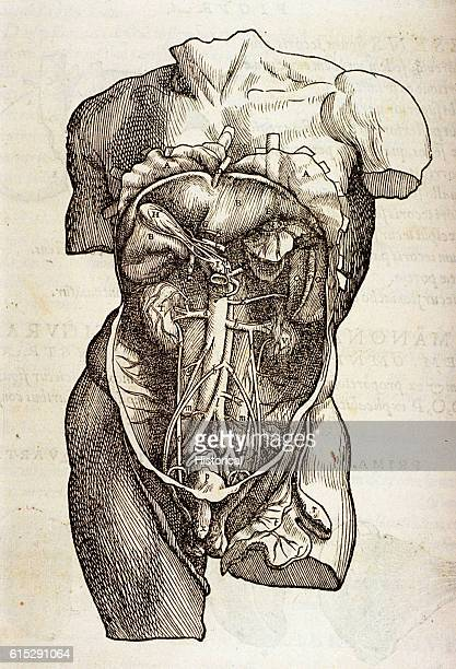 Abdominal Diagram Stock Photos And Pictures