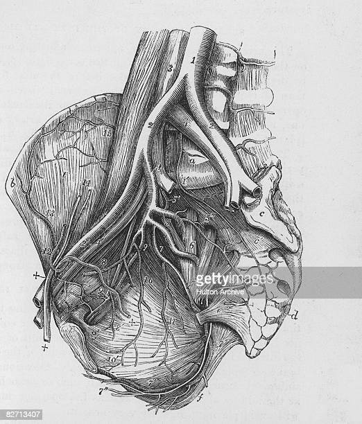 An anatomical diagram showing the arteries of the human heart circa 1930