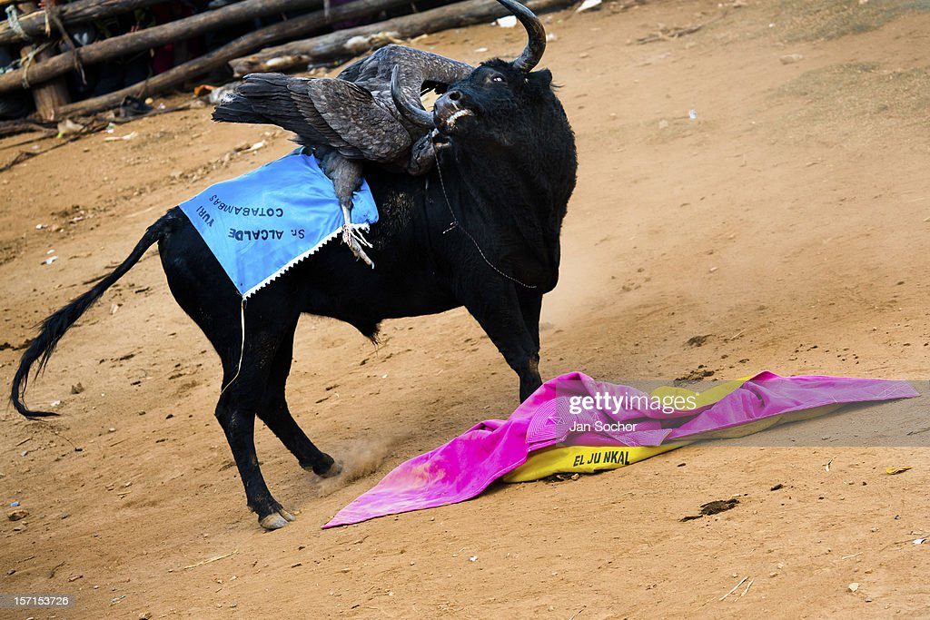 An Andean condor fights against a wild bull during the Yawar Fiesta held in the mountains of Apurímac on 30 July 2012 in Cotabambas, Peru. The Yawar Fiesta (Feast of Blood), an indigenous tradition which dates back to the time of the conquest, consists basically of an extraordinary bullfight in which three protagonists take part - a wild condor, a wild bull and brave young men of the neighboring communities. The captured condor, a sacred bird venerated by the Indians, is tied in the back of the bull which is carefully selected for its strength and pugnacity. A condor symbolizes the native inhabitants of the Andes, while a bull symbolically represents the Spanish invaders. Young boys, chasing the fighting animals, wish to show their courage in front of the community. However, the Indians usually do not allow the animals to fight for a long time because death or harm of the condor is interpreted as a sign of misfortune to the community.
