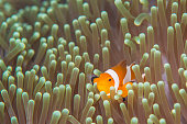 An anemone fish is very cute