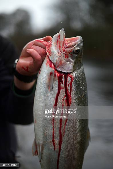 An angler on the banks of the river Tay catches a Rainbow Trout in a net during the traditional opening of the river Tay Salmon Season on January 15...