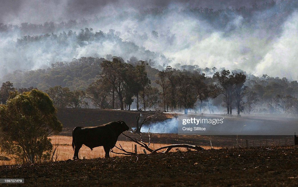 An Angus bull stands as smoke rises all around, near the town of Seaton on January 19, 2013 in Australia. Bushfires in Victoria have claimed one life and destroyed several houses as record heat continues to create extreme fire conditions throughout Australia.