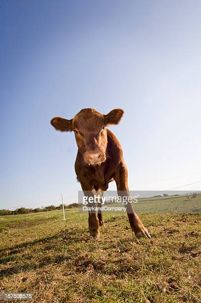 An Angus Calf standing in a green field
