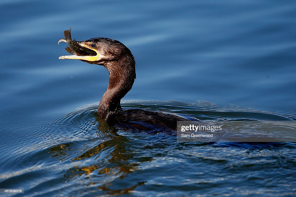An anhinga eats a fish during the fourth round of the Waste Management Phoenix Open at TPC Scottsdale on February 1, 2015 in Scottsdale, Arizona.