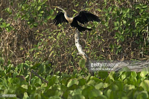 An Anhinga is seen on the banks of the Paraguay river in Caceres Brazil the gateway to the Pantanal on August 25 2014 Often referred to as the worlds...