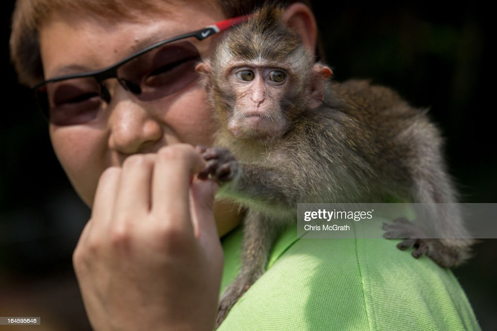 An animal handler gives food to a Long Tailed Macaque during a media tour ahead of the opening of River Safari at the Singapore Zoo on March 25, 2013 in Singapore. The River Safari is Wildlife Reserves Singapore's latest attraction. Set over 12 hectares, the park is Asia's first and only river-themed wildlife park and will showcase wildlife from eight iconic river systems of the world, including the Mekong River, Amazon River, the Congo River through to the Ganges and the Mississippi. The attraction is home to 150 plant species and over 300 animal species including 42 endangered species. River Safari will open to the public on April 3.