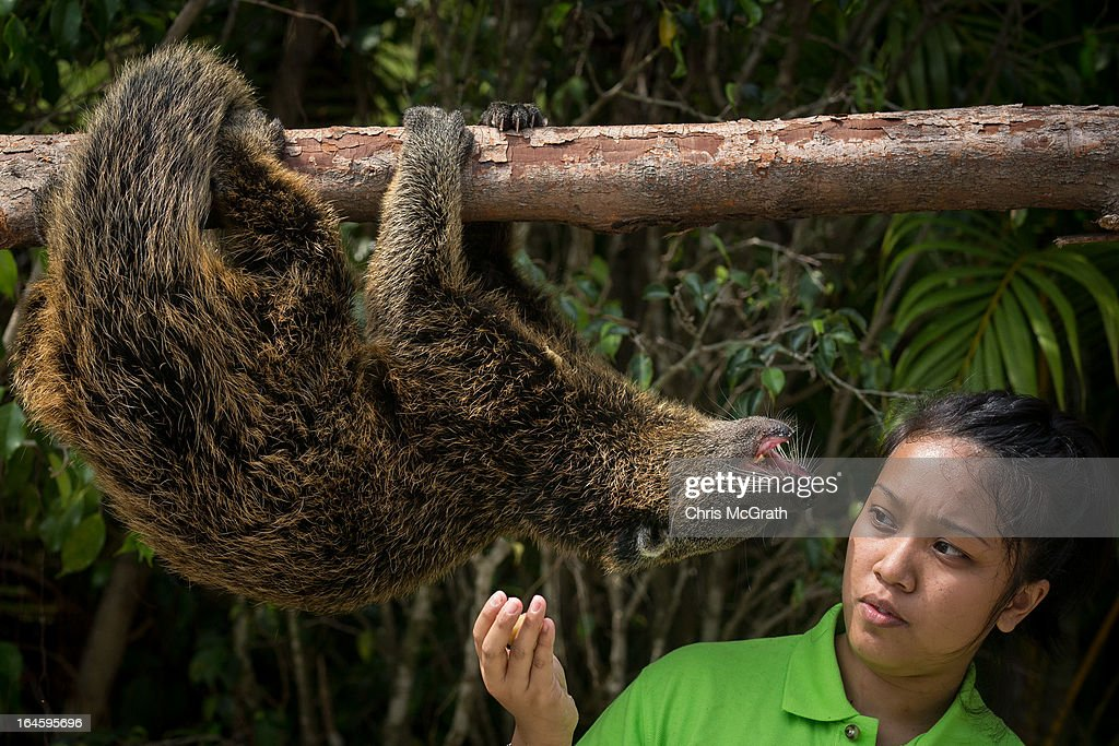An animal handler gives food to a southeast asian Binturong during a media tour ahead of the opening of River Safari at the Singapore Zoo on March 25, 2013 in Singapore. The River Safari is Wildlife Reserves Singapore's latest attraction. Set over 12 hectares, the park is Asia's first and only river-themed wildlife park and will showcase wildlife from eight iconic river systems of the world, including the Mekong River, Amazon River, the Congo River through to the Ganges and the Mississippi. The attraction is home to 150 plant species and over 300 animal species including 42 endangered species. River Safari will open to the public on April 3.