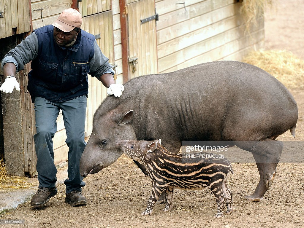 An animal keeper stands next to a tapir and its baby, who was born less than a month ago, at the zoo in Lille on March 22, 2013.