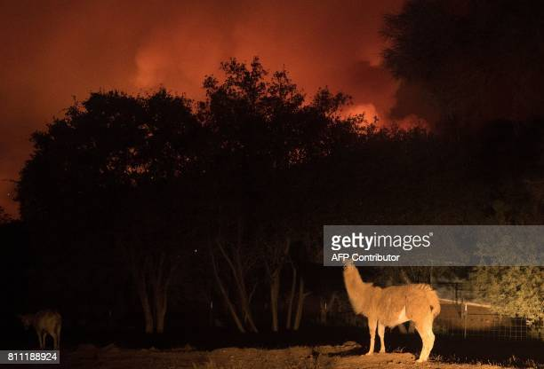 An animal stands on a property as impending flames close in on a residential area in Oroville California on July 8 2017 The first major wildfires...