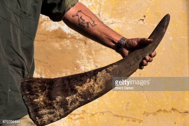 An antipoaching team member holds a recently removed rhino horn from an animal that was moved to this property for its own safety from a more...