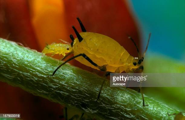 An aphidNot identifiedproducing live young The species appears to be a specialist feeder on Milkweed introduced to Australia from North America the...