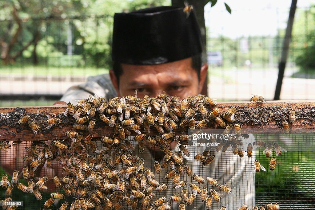 An apitherapy practitioner checks bees that will be used for apitherapy in a beehive at Cibubur Bee Center on April 15, 2007 in Jakarta, Indonesia. Bee acupuncture or apitherapy, is an alternative healing practice where bee stings are used as treatment for various conditions and diseases. Apitherapy, which was first practiced in China, has developed as a popular alternative healing method in Indonesia.