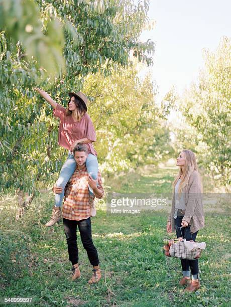 An apple orchard in Utah. Three people picking apples from a tree.