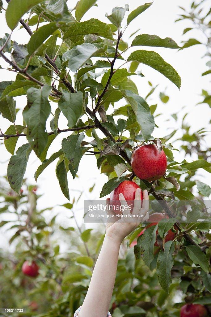 einem apfelbaum mit roten fr chten runde bereit zum abholen stock foto getty images. Black Bedroom Furniture Sets. Home Design Ideas
