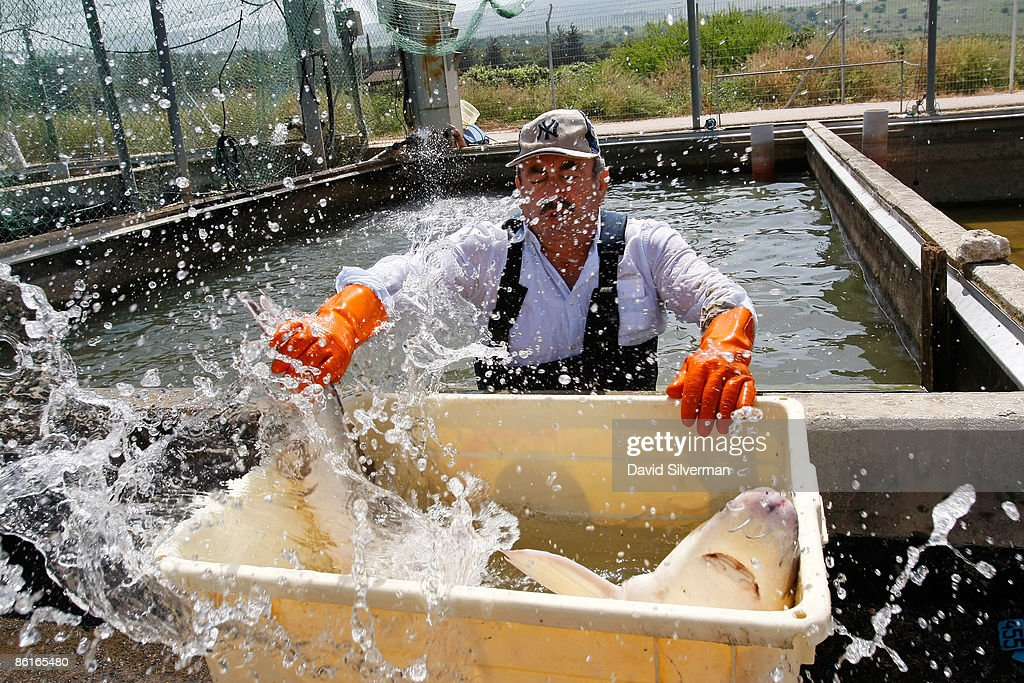An Arab worker catches a spray of water in his face as he moves a struggling female sturgeon from a fish pond into a container before the fish is taken to a nearby caviar processing plant on April 22, 2009 in Kibbutz Dan, Israel. Far from the Caspian Sea, where over fishing and pollution have slashed yields of this prized delicacy, fish farmers at this kibbutz are reaping the rewards of years of hard work and are cashing in on the global caviar crisis. After retail prices for caviar soared to as much as USD 5,000 a kilogram, the kibbutz turned from breeding the fish from imported Russian Osetra stock for its meat to rearing the fish in special ponds for as long as ten years to harvest their roe. According to Yigal Ben Tzvi, the managing director of Caviar Galilee, his caviar is lauded by connoisseurs and orders from Japan, America, Europe and even Russia account for all his annual production of some 2,000 kilograms.