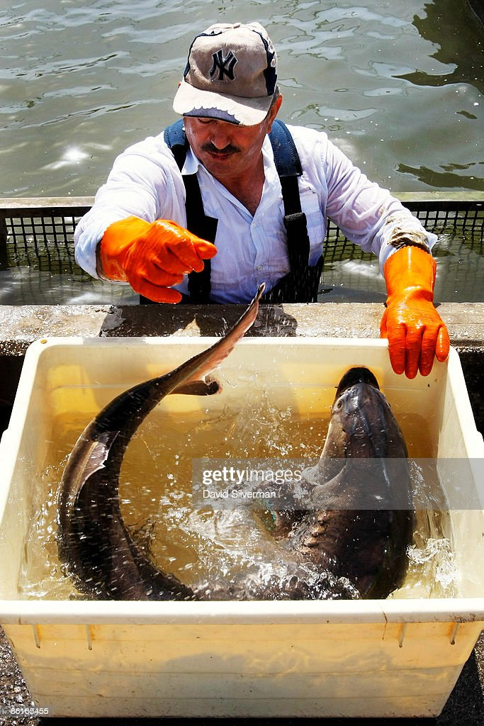An Arab worker moves a struggling female sturgeon from a fish pond into a container of water before the fish is taken to a nearby caviar processing plant on April 22, 2009 in Kibbutz Dan, Israel. Far from the Caspian Sea, where over fishing and pollution have slashed yields of this prized delicacy, fish farmers at this kibbutz are reaping the rewards of years of hard work and are cashing in on the global caviar crisis. After retail prices for caviar soared to as much as USD 5,000 a kilogram, the kibbutz turned from breeding the fish from imported Russian Osetra stock for its meat to rearing the fish in special ponds for as long as ten years to harvest their roe. According to Yigal Ben Tzvi, the managing director of Caviar Galilee, his caviar is lauded by connoisseurs and orders from Japan, America, Europe and even Russia account for all his annual production of some 2,000 kilograms.