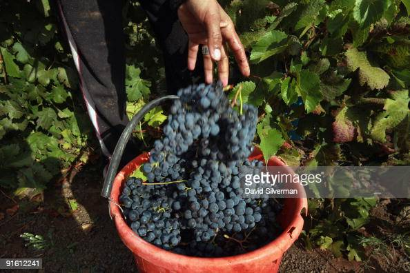 An Arab worker picks Merlot grapes during the harvest for the Dalton winery on October 7 2009 in Kerem Ben Zimra northern Galilee in Israel Dalton is...