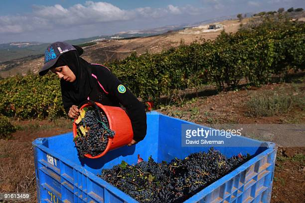 An Arab worker pours buckets full with Merlot grapes into a crate during the harvest for the Dalton winery on October 7 2009 in Kerem Ben Zimra...