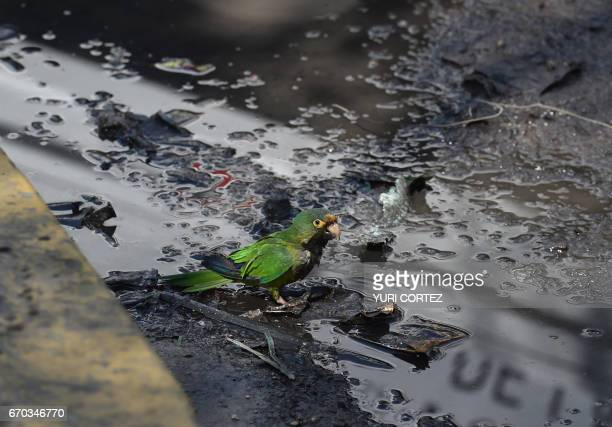 An Aratinga verde walks amidst residual waters in a street of Iztapalapa south of Mexico City on April 19 2017 Different organizations have reported...