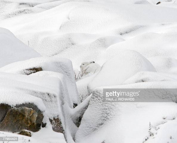 An Arctic Hare blends in with the snow close to the shores of the Hudson Bay 12 November 2007 outside Churchill Mantioba Canada AFP Photo/Paul J...