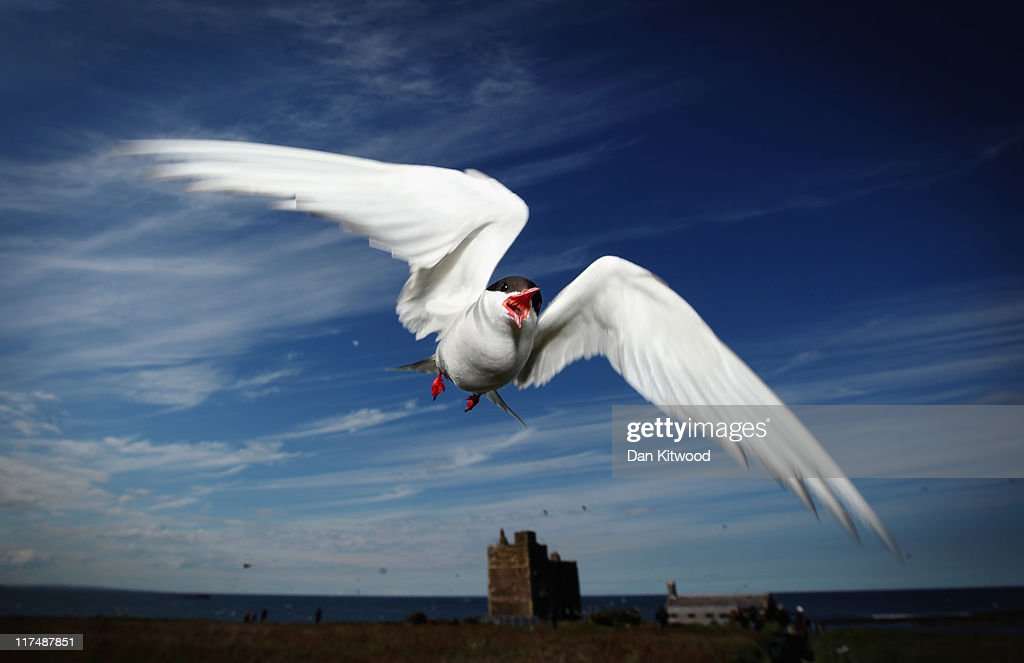 An Arctic Tern dives down to protect its nest on June 24, 2011 on Inner Farne, England. The Farne Islands, which are run by the National Trust, are situated two to three miles off the Northumberland coastline. The archipeligo of 16-28 separate islands (depending on the tide) make the summer home to approximately 100,000 pairs of breeding seabirds including around 36,000 Puffins, 32,000 Guillemots and 2,000 pairs of Arctic Terns. The species of birds which nest in internationally important numbers include Shag, Sandwich Tern and Arctic Tern. The coastline around The Farnes are also the breeding ground to one of Europe's largest Grey Seal colonies with around 4,000 adults giving birth to 1500 pups every year.