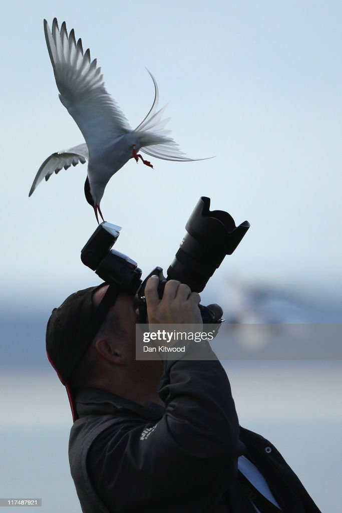 An Arctic Tern pecks a mans camera as he walks through nesting seabirds on June 25, 2011 on Inner Farne, England. Visitors to the Farne Islands are pre-warned and advised to wear hats to protect themselves from the Terns who will dive down and attack anyone they perceive as a threat to their nest. The Farne Islands, which are run by the National Trust, are situated two to three miles off the Northumberland coastline. The archipeligo of 16-28 separate islands (depending on the tide) make the summer home to approximately 100,000 pairs of breeding seabirds including around 36,000 Puffins, 32,000 Guillemots and 2,000 pairs of Arctic Terns. The species of birds which nest in internationally important numbers include Shag, Sandwich Tern and Arctic Tern. The coastline around The Farnes are also the breeding ground to one of Europe's largest Grey Seal colonies with around 4,000 adults giving birth to 1500 pups every year.