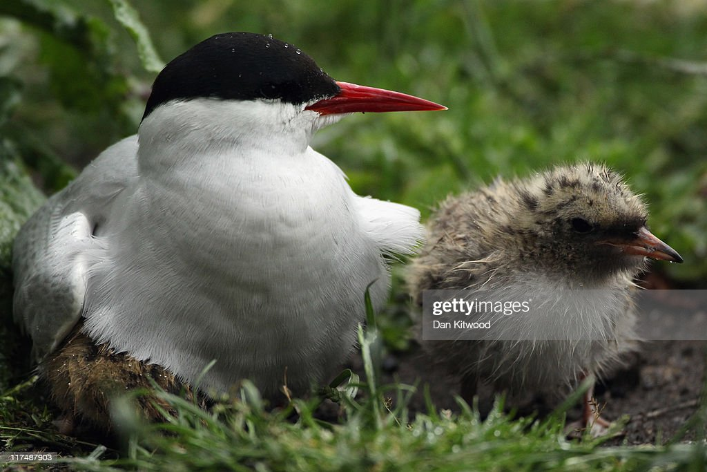 An Arctic Tern sits on it's nest on June 24, 2011 on Inner Farne, England. The Farne Islands, which are run by the National Trust, are situated two to three miles off the Northumberland coastline. The archipeligo of 16-28 separate islands (depending on the tide) make the summer home to approximately 100,000 pairs of breeding seabirds including around 36,000 Puffins, 32,000 Guillemots and 2,000 pairs of Arctic Terns. The species of birds which nest in internationally important numbers include Shag, Sandwich Tern and Arctic Tern. The coastline around The Farnes are also the breeding ground to one of Europe's largest Grey Seal colonies with around 4,000 adults giving birth to 1500 pups every year.