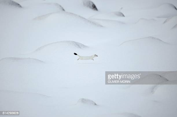 TOPSHOT An arctic weasel runs on the snowy beach of Unstad Lofoten Island in the Arctic Circle on March 8 2016 / AFP / OLIVIER MORIN