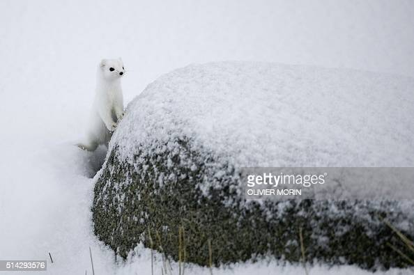 An arctic weasel stands on the snowy beach of Unstad Lofoten Island in the Arctic Circle on March 8 2016 / AFP / OLIVIER MORIN
