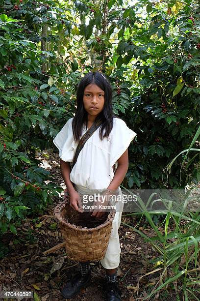 An Arhuaco boy seen picking coffee beans in a farm on January 24 2015 in Nabusimake Colombia Nabusimake is the spiritual center of the Arhuaco...