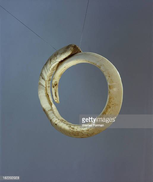 An arm band made from a boar tusk Pigs and their tusks were important valuables used for bridal payments and inter village ceremonial exchanges These...