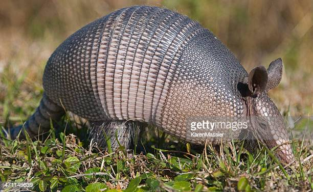 An armadillo walking through the grass