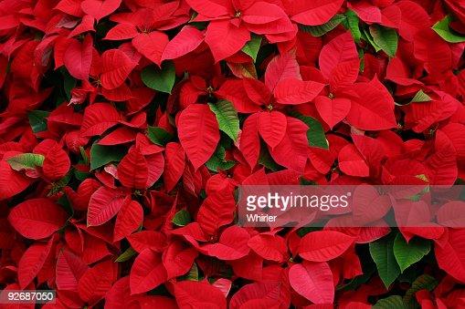An arrangement of beautiful poinsettias