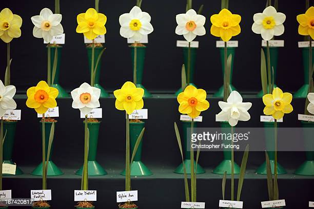 An array of daffodils stand proudly on show at the Harrogate Spring Flower Show on April 25 2013 in Harrogate England Over 100 nurseries are staging...