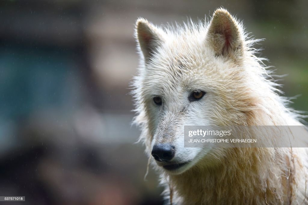An artic white wolf is pictured on June 2 2016 at the zoological park of Amneville eastern France / AFP / JEANCHRISTOPHE VERHAEGEN