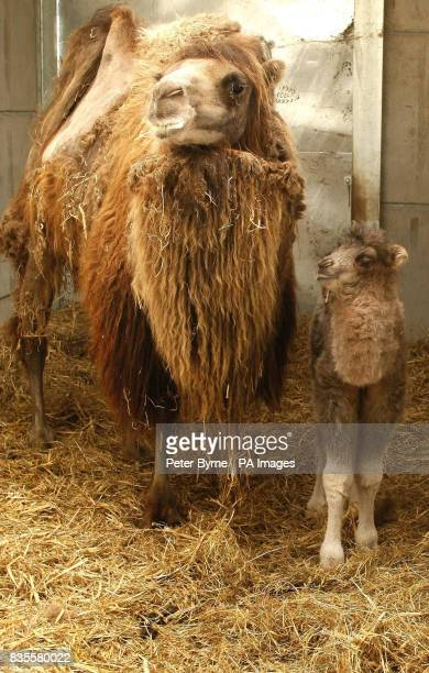 An as yet unnamed baby camel with its mother which was an unexpected arrival for staff at Knowsley Safari Park on June 7 2009