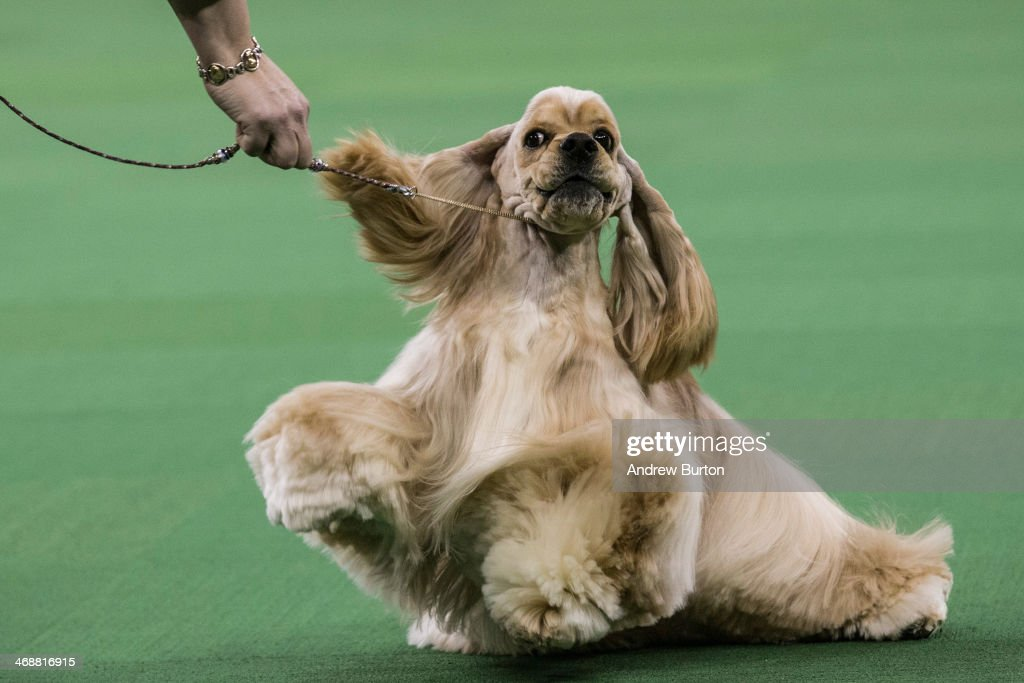 An Ascotb Cocker Spaniel competes in the Westminster Dog Show on February 11 2014 in New York City The annual dog show has been showcasing the best...