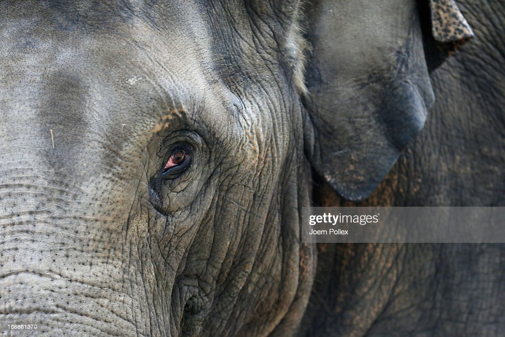 An Asian elephant walks near a full grown elephantlooks in the camera during a baby animals inventory at Hagenbeck zoo on May 16, 2013 in Hamburg, Germany.