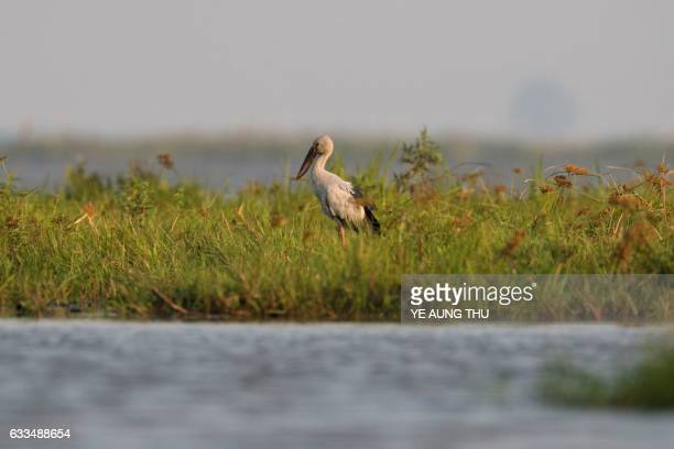 An Asian openbill is seen in the Moe Yun Gyi wetlands in Bago Division around 70 miles north of Yangon on February 2 2017 Myanmar marked...