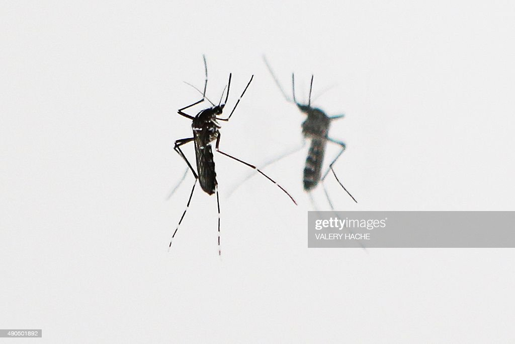 An Asian Tiger mosquito is pictured on September 29 2015 in Nice Southeastern France The Asian tiger mosquito which has distinctive black and white...