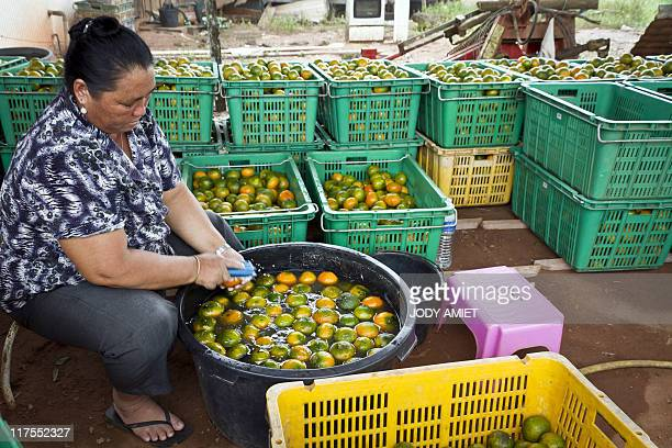 An Asia's Hmong ethnic minority diaspora unidentified member brushes lemons to clean them up in Javouhey northwestern French overseas department of...