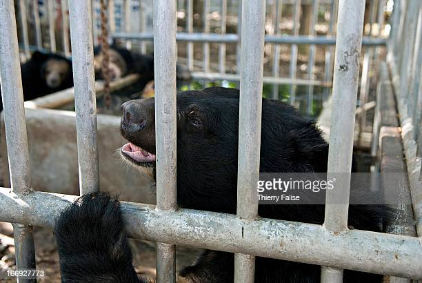 An Asiatic Black Bear looks bored and sad behind the bars of a cage in a private Thai school Ten years ago the school agreed to take care of a few...