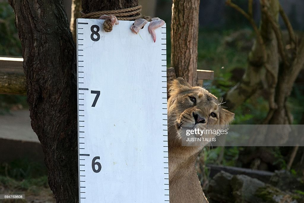 An Asiatic lion is measured during a photocall at London Zoo on August 24 to promote the zoo's annual weighin event / AFP / Justin TALLIS