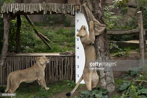 An Asiatic lion stands to reach a bag with meat in it during a photocall to promote the London Zoo annual 'weighin' event on August 24 2017 in London...