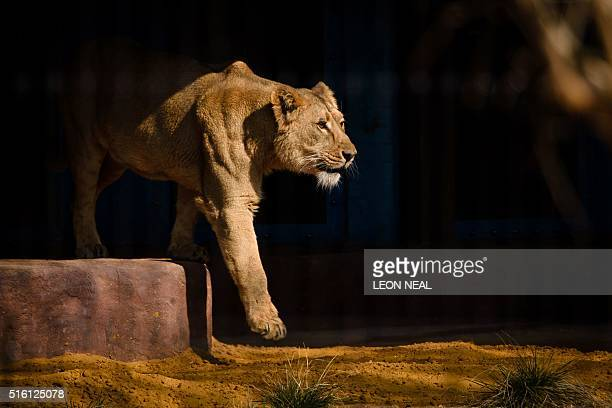 An Asiatic lioness is pictured in her new enclosure as Britain's Queen Elizabeth II and her husband Prince Philp Duke of Edinburgh attend the offical...