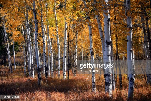 An aspen grove in autumn with orange leaves