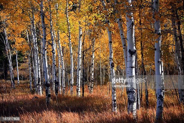Aspen Grove im Herbst
